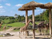 Giraffen im Prager Zoo dem Tipp für Familienausflüge