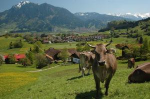 Schwanden Ettensberg Mit Kuh 05