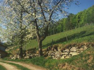 Apfelblütenbaum und Mauer in Gotteszell